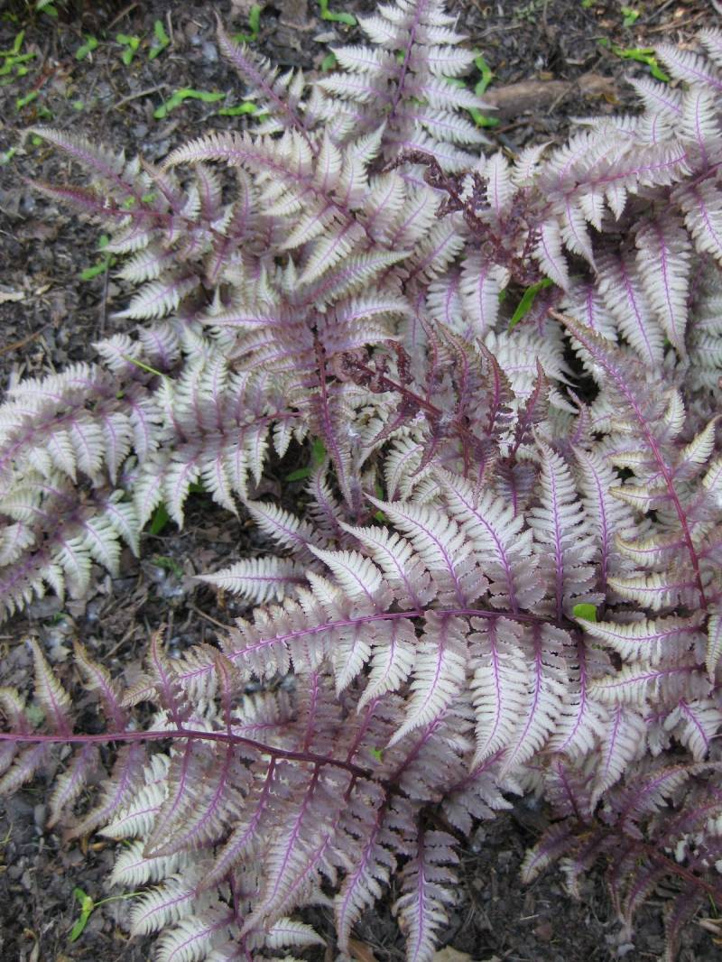 Burgundy Lace Japanese Painted Fern For Sale