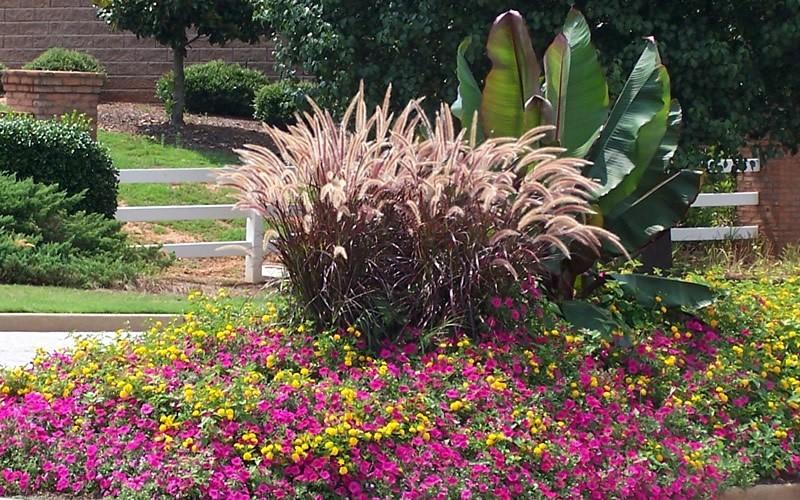 Rubrum purple fountain grass 1 gallon ornamental grass for Ornamental grass with yellow flowers