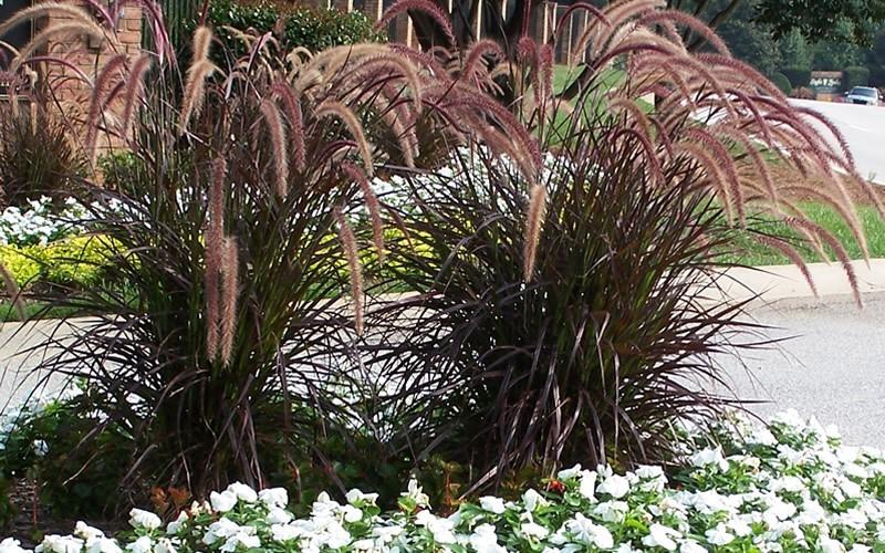 rubrum purple fountain grass - 1 gallon - ornamental grass  annual bedding - grasses