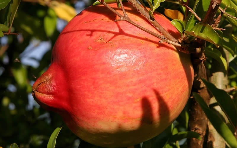 Russian 26 Cold Hardy Pomegranate *** Free Shipping on 3 Gallons *** Photo 2