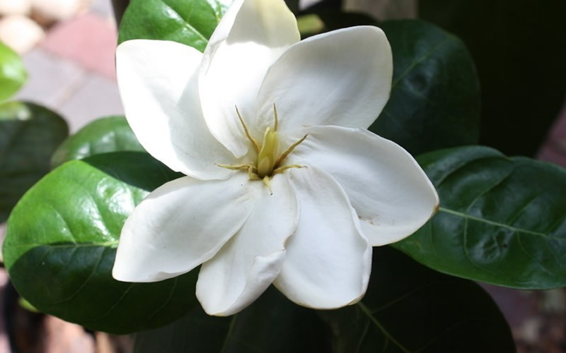 Scentamazing gardenia 25 quart shrub fragrant scented shrubs scentamazing gardenia 25 quart fragrant scented shrubs mightylinksfo