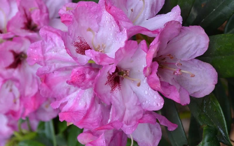 Southgate Radiance Rhododendron - 2.5 Quart - Flowering Shrubs