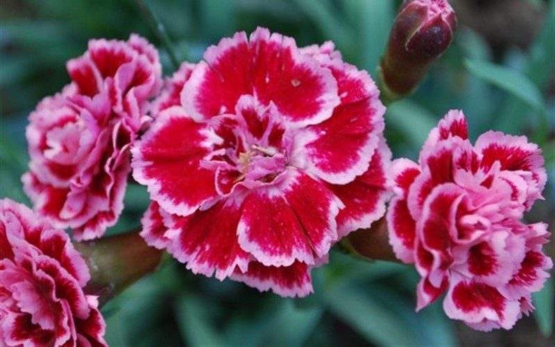Sugar Plum Carnation - 8 Count Flat of Quart Pots - Dianthus Groundcovers