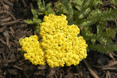 Shop Achillea Little Moonshine Yarrow - 1 Gallon