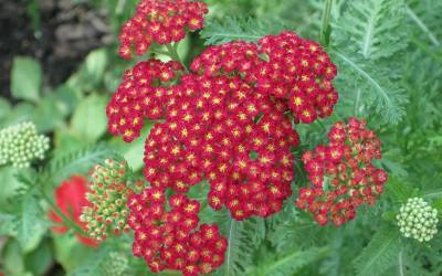 Shop Strawberry Seduction Yarrow Red - 1 Gallon