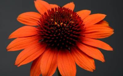 Shop Adobe Orange Coneflower - 1 Gallon