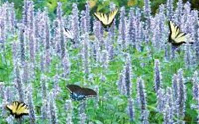 Shop Blue Fortune Hyssop - 1 Gallon