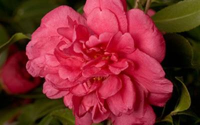 Shop Alabama Beauty Camellia - 2.5 Quart