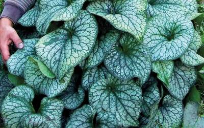 Shop Alexander's Great Heartleaf Brunnera - 1 Gallon