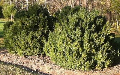 Shop American Boxwood - 1 Gallon