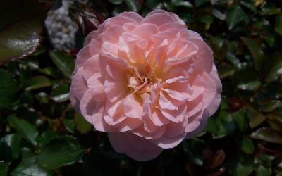 Shop Apricot Drift Rose - 1 Gallon