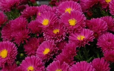 Shop Kickin Carmine Red Aster  - 1 Gallon