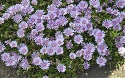 Shop Kickin Lavender Aster - 1 Gallon