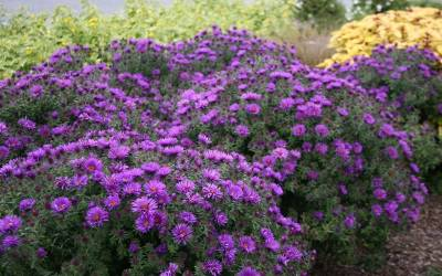 Shop Purple Dome Aster  - 1 Gallon