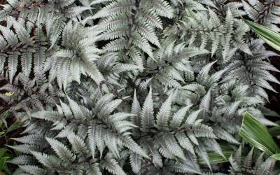 Shop Godzilla Giant Japanese Painted Fern - 1 Gallon