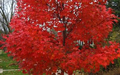 Shop Autumn Blaze Red Maple - 3 Gallon