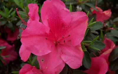 Shop Autumn Carnival Encore Azalea - 1 Gallon
