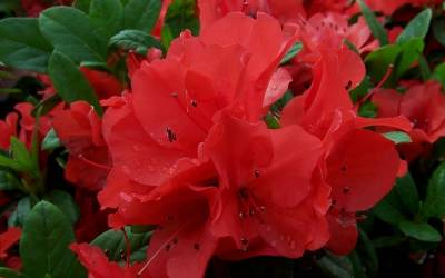Shop Autumn Embers Encore Azalea - 1 Gallon