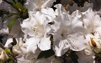 Shop Autumn Ivory Encore Azalea - 1 Gallon