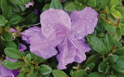Shop Autumn Lilac Encore Azalea - 1 Gallon