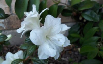 Shop Autumn Moonlight Encore Azalea - 2 Gallon