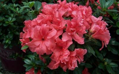 Shop Autumn Princess Encore Azalea - 1 Gallon