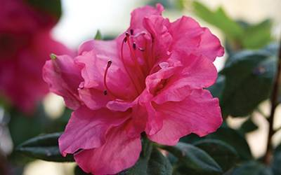 Shop Autumn Rouge Encore Azalea - 1 Gallon