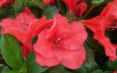 Shop Autumn Sunset Encore Azalea - 1 Gallon