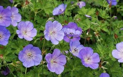 Shop Azure Rush Cranesbill - 1 Gallon
