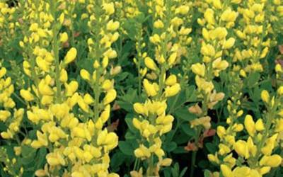 Shop Baptisia x 'Solar Flare'  False Indigo - 1 Gallon