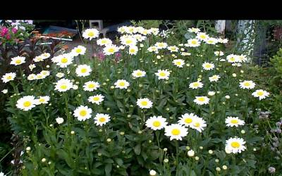 Shop Becky Shasta Daisy - 1 Gallon