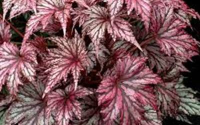 Shop Garden Angel Plum Hardy Begonia - 1 Gallon