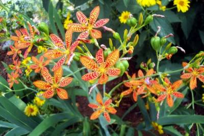 Shop Freckle Face Blackberry Lily - 1 Gallon