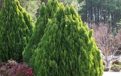 Buy Evergreen Shrubs Online