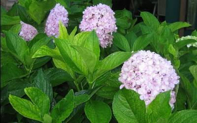 Shop Big Daddy Hydrangea - 3 Gallon