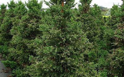 Buy Columnar & Narrow Trees Online