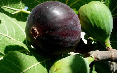 Shop Black Mission Fig - 3 Gallon