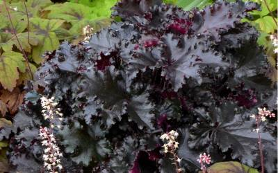 Shop Black Taffeta Heuchera - 1 Quart