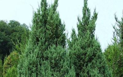 Shop Blue Point Juniper - 2.5 Quart
