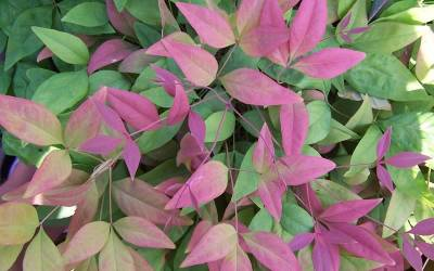 Shop Blush Pink Nandina - 2.5 Quart