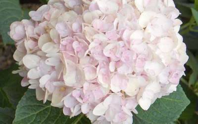 Buy Shrubs for Summer Color Online