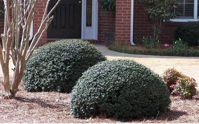 Buy Holly Bushes Online