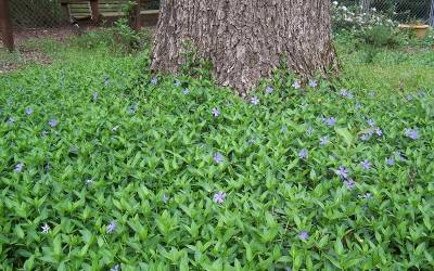 "Shop Bowles Evergreen Periwinkle - 10 Count Flat of 4"" Pots"