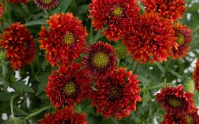 Shop Bright Red Blanket Flower - 3 Count Flat of Pint Pots