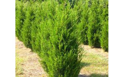 Shop Brodie Juniper  - 1 Gallon