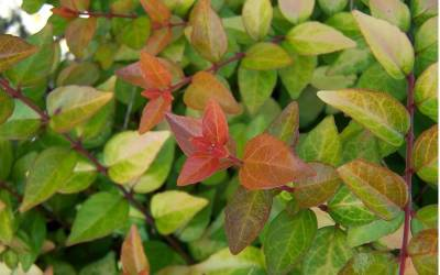 Shop Canyon Creek Abelia - 3 Gallon