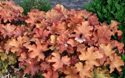 Shop Heuchera Caramel Coral Bells - 1 Gallon