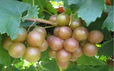 Shop Carlos Muscadine - 1 Gallon