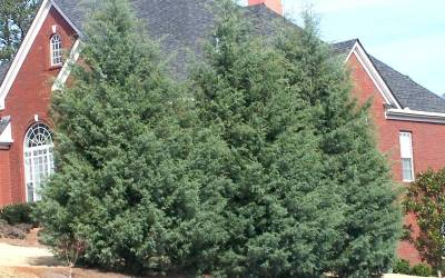 Buy Privacy Trees Online