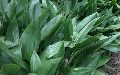 Aspidistra - Cast Iron Plants